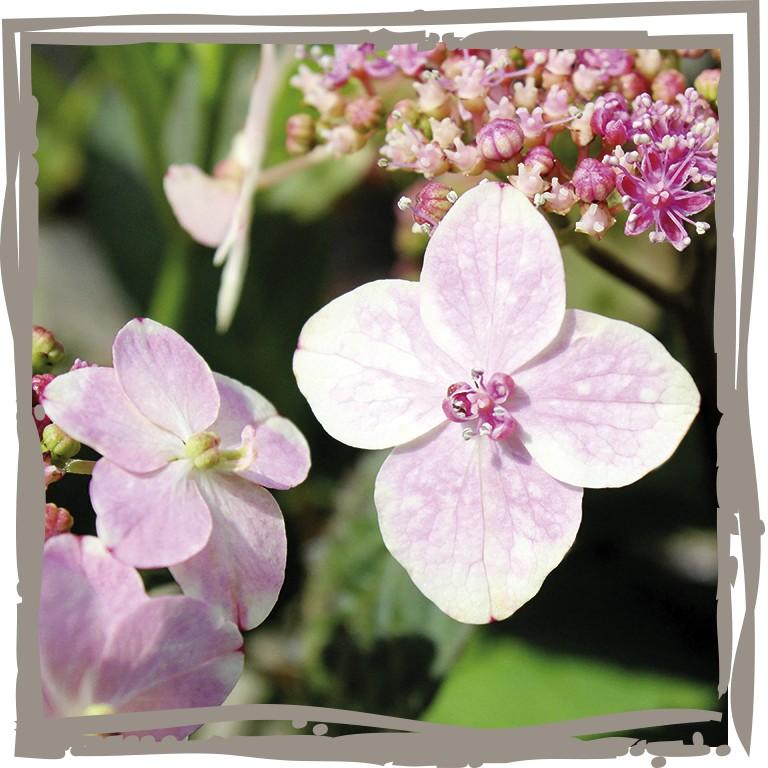 Prächtig Tee-Hortensie 'Heilende Süße', Landgefühl ® #DE_05