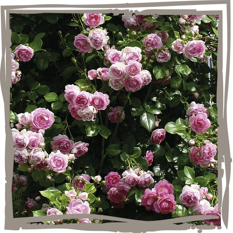 kletterrose 39 rosa pfelchen 39 landgef hl. Black Bedroom Furniture Sets. Home Design Ideas