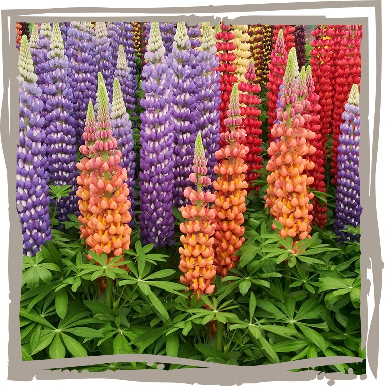 Lupine 'Westcountry'