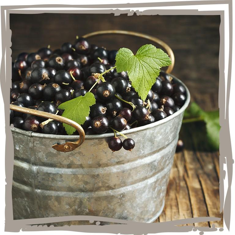 schwarze johannisbeere vitaminhaps landgef hl. Black Bedroom Furniture Sets. Home Design Ideas